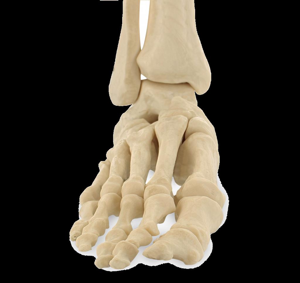 Anterior-Foot